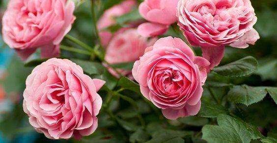 coltivare_rose