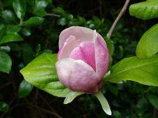 Magnolia_×_soulangeana_blossom