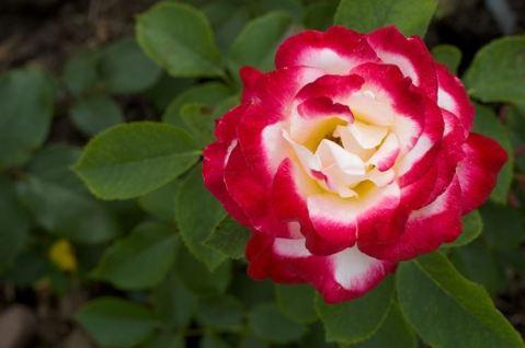 rosa-tea_NG13