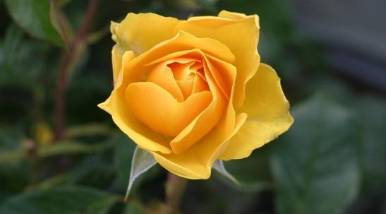 rose-113735_960_720