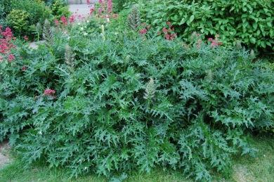 acanthus-spinosus