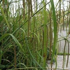 Carex-pendula-1