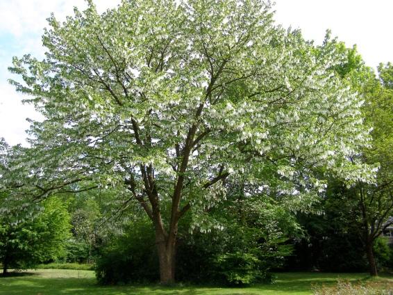 Davidia-involucrata-Ghost-Tree-Dove-Tree
