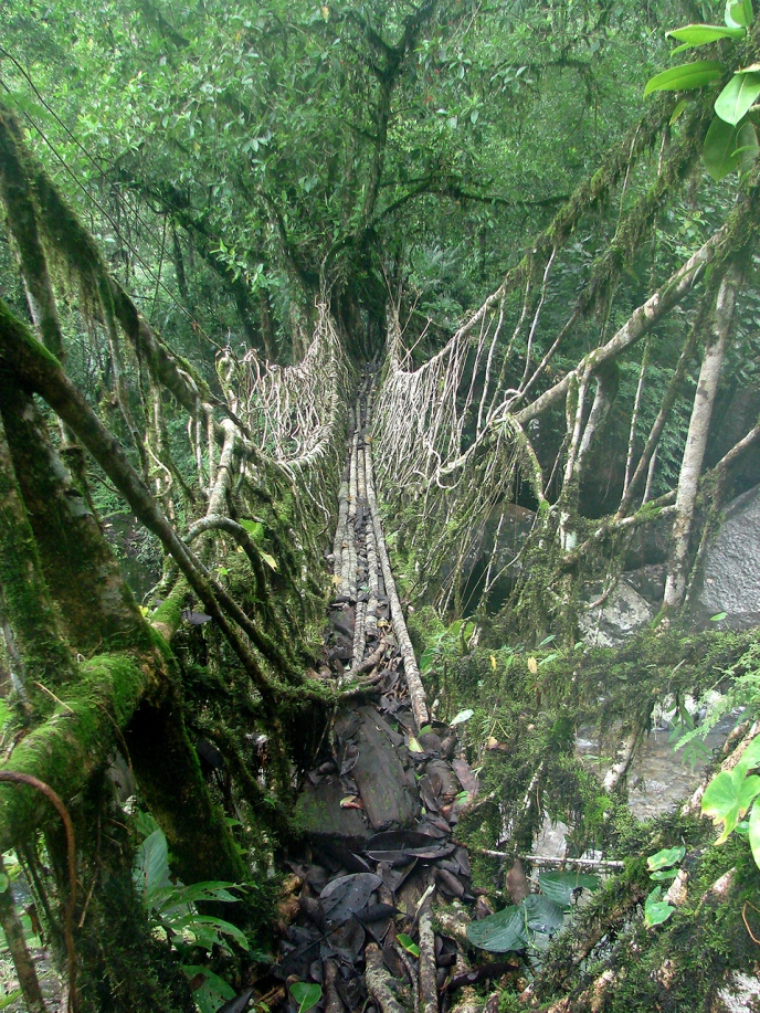 Living root bridge ecosystem in the village of Nongthymmai, India. Image courtesy the author