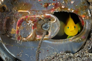 Gli ecosistemi marini di tutto il mondo sono vittime di grave inquinamento da rifiuti di ogni genere: plastica, rottami, mercurio e altri metalli pesanti fino ai veleni rilasciati da migliaia di bombe inesplose nelle zone di guerra, che giungono a noi propagandosi attraverso le catene alimentari. Qui un gobbio giallo (Gobiodon okinawae) scruta attraverso la finestra della sua casa-lattina (Penisola di Izu, Honshu, Giappone). © Brian J. Skerry